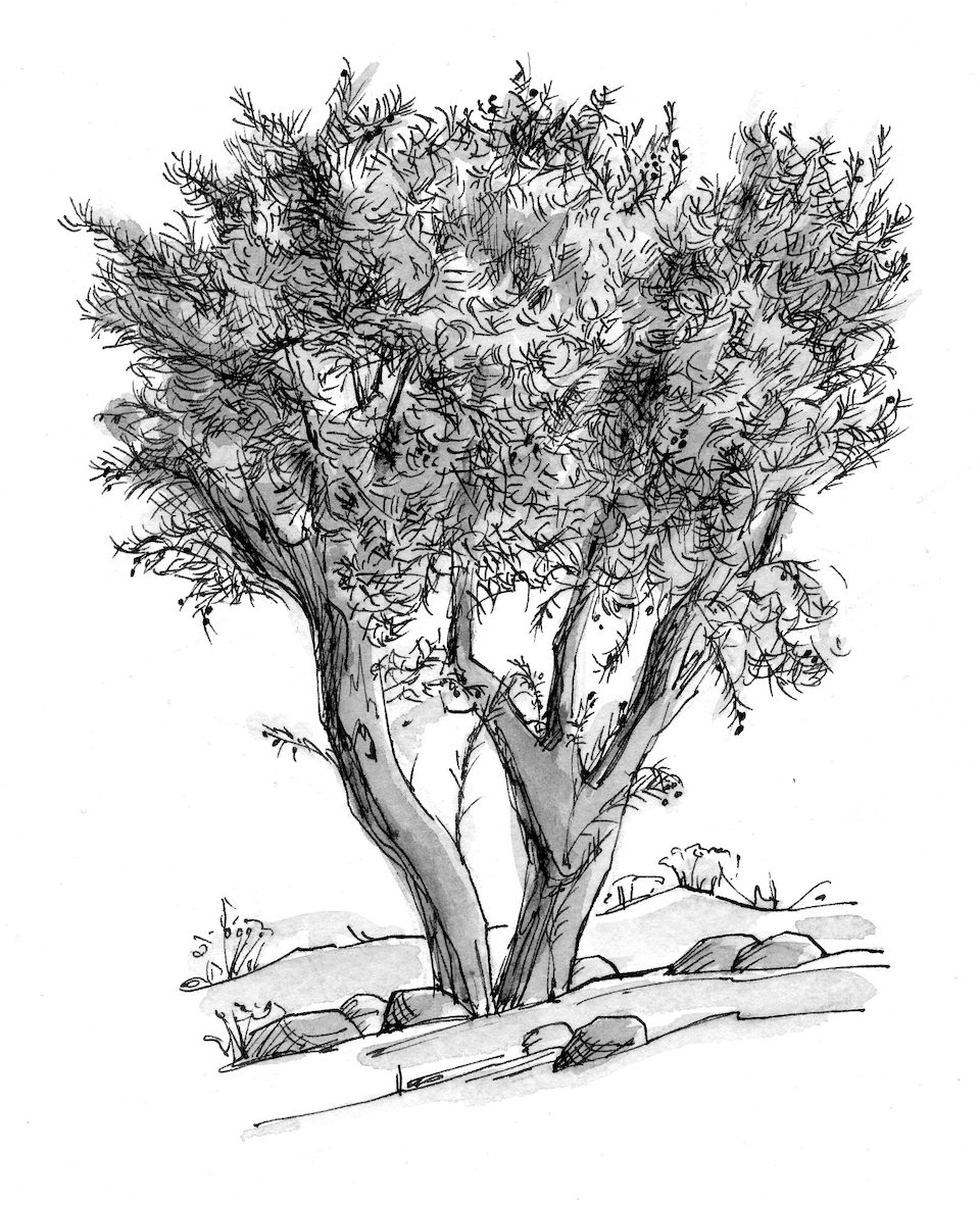 Mustard Tree Drawing View Largeprint
